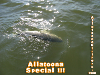 Lake Allatoona Fishing Guides - 32 Pound Striper in the water